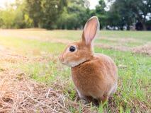коричневый кролик Стоковые Изображения RF
