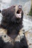 Коричневый медведь Стоковые Изображения