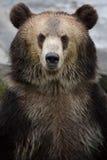 Коричневый медведь Стоковое Изображение RF