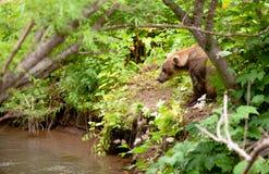 Коричневый медведь удит в России на Камчатке стоковая фотография