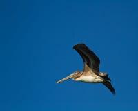 коричневый пеликан летания Стоковое Изображение