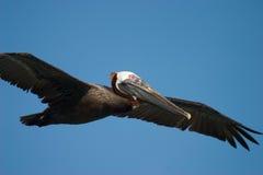 коричневый пеликан летания Стоковые Фотографии RF