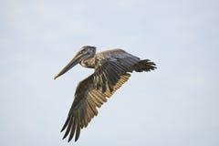 коричневый пеликан полета Стоковое фото RF