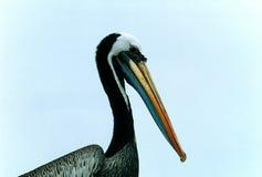 коричневый пеликан Стоковые Изображения RF