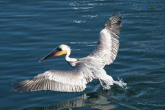 коричневый пеликан Стоковое фото RF
