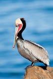 коричневый пеликан стоковая фотография