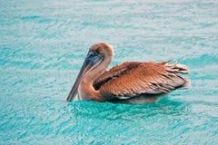 коричневый пеликан Стоковые Изображения
