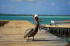 коричневый пеликан Стоковые Фото
