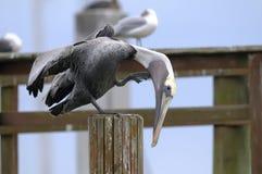 коричневый пеликан pelecanus occidentalis Стоковая Фотография
