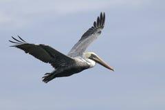 коричневый пеликан pelecanus occidentalis Стоковые Изображения RF