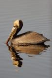 коричневый пеликан pelecanus occidentalis Стоковое Изображение