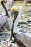 коричневый пеликан pelecanus occidentalis Стоковое Изображение RF