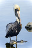 коричневый пеликан pelecanus occidentalis Стоковые Фото