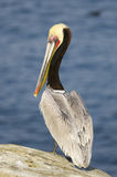 коричневый пеликан pelecanus occidentalis california Стоковое фото RF