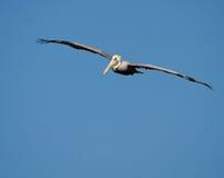 коричневый пеликан pelecanus occidentals Стоковое фото RF