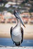 Коричневый пеликан на пляже Pismo Стоковые Изображения