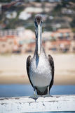 Коричневый пеликан на пляже Pismo Стоковые Изображения RF