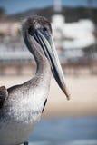 Коричневый пеликан на пляже Pismo Стоковое Фото