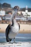 Коричневый пеликан на пляже Pismo Стоковая Фотография