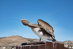Коричневый пеликан на пляже Pismo Стоковое фото RF