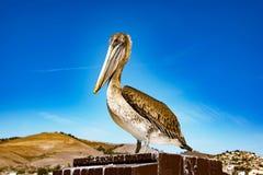 Коричневый пеликан на пляже Pismo Стоковая Фотография RF