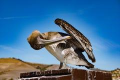 Коричневый пеликан на пляже Pismo Стоковые Фотографии RF