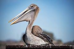 Коричневый пеликан на пляже Pismo Стоковое Изображение