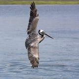 коричневый пеликан полета Стоковая Фотография