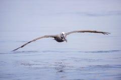 коричневый пеликан полета Стоковая Фотография RF