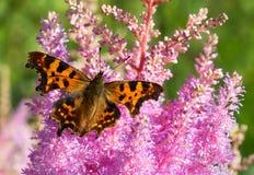 коричневый пинк цветка бабочки Стоковые Фото
