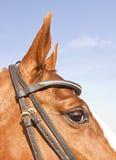 коричневый портрет лошади головки крупного плана Стоковая Фотография RF