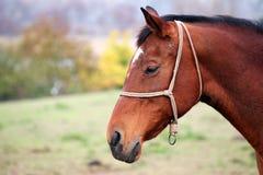 коричневый портрет лошади Стоковые Фотографии RF