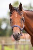 коричневый портрет лошади Стоковые Изображения RF