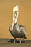 коричневый портрет пеликана Стоковые Фото