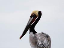 коричневый профиль пеликана Стоковые Фотографии RF