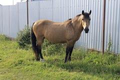 коричневый смотреть лошади камеры Стоковая Фотография RF