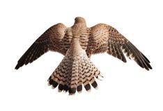 Коричневый сокол летая изолированный на белизне Стоковое фото RF