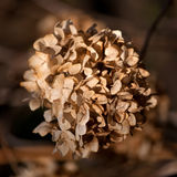 коричневый сухой цветок Стоковое Фото