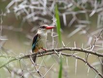 коричневый с капюшоном kingfisher Стоковые Фотографии RF