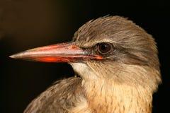 коричневый с капюшоном kingfisher Стоковое Изображение RF