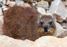 коричневый утес hyrax Стоковое Изображение RF