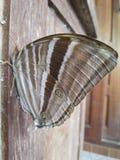 Коричневый цвет бабочки Стоковое Изображение