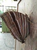 Коричневый цвет бабочки Стоковые Изображения
