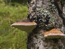 Коричневый цвет грибов Стоковые Фотографии RF