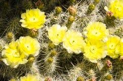 Коричневый цвет желтого зеленого цвета кактуса Стоковая Фотография RF