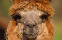 Коричневый цвет и женщина альпаки Стоковая Фотография RF