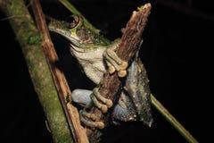 Коричневый цвет и зеленая древесная лягушка рода Osteocephalus, на конце сломленной ручки стоковое изображение
