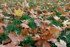 коричневый цвет листает клен Стоковое Фото