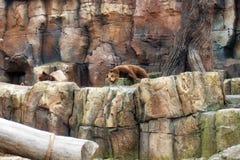 коричневый цвет медведей Стоковое Изображение