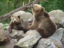 коричневый цвет медведей Стоковая Фотография RF